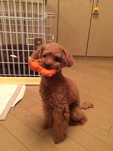 ウルフィちゃんとおもちゃ